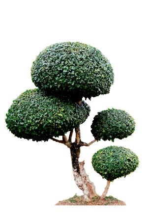 tree_Egasit_Mullakhut